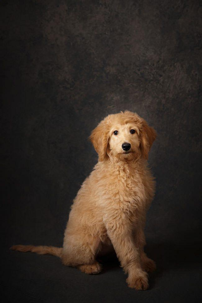 Dog Portrait Studio