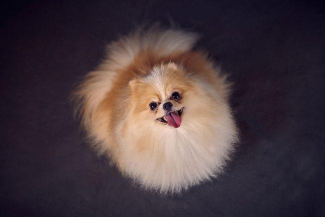 Pom Pet Photoshoot